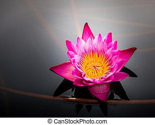 Pink lotus in pond close up.