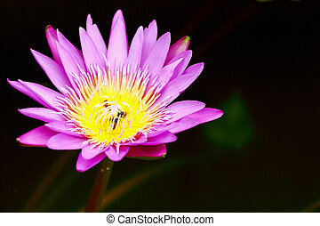 Pink Lotus in pond