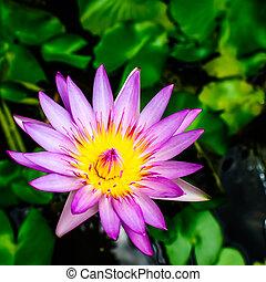 Pink lotus in the lake