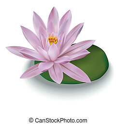 pink lotus isolated on a white
