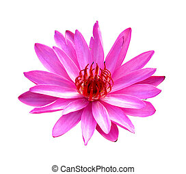 pink lotus on a white background