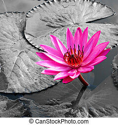 PInk Lotus on the River