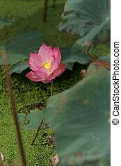 Pink Lotus on Water