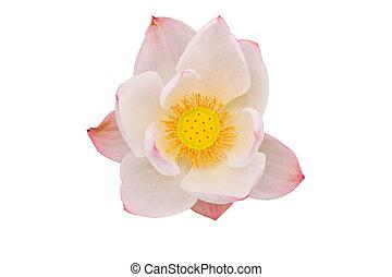 Pink lotus on white background.