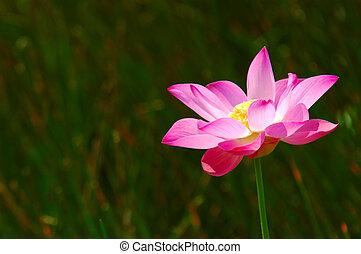 Pink lotus - Kuala Lumpur, Malaysia