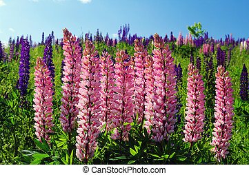 Pink Lupin in full bloomin a field of lip[in on a hillside