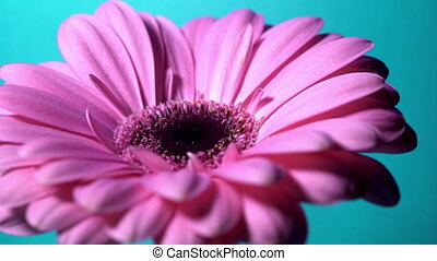 Pink magenta gerbera flower rotating from left to right on...