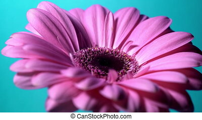 Pink magenta gerbera flower rotating from right to left on...