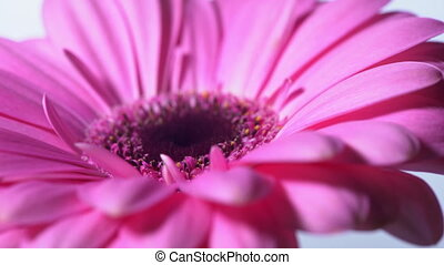 Pink magenta gerbera flower rotating on blue isolated...