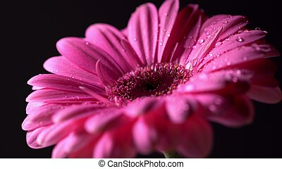 Pink magenta gerbera flower with water drops on black isolated background. Beautiful single blooming gerbera. Daisy is flower of Asteraceae family.