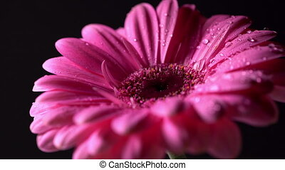 Pink magenta gerbera flower with water drops rotating on...