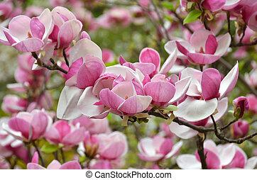Pink magnolia blossom - Bloomy magnolia tree with big pink ...