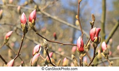 Pink magnolia blossoms . - Pink magnolia blossoms on the sky...