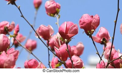 Pink magnolia blossoms on the sky background