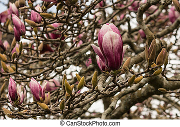 pink magnolia flowers and buds