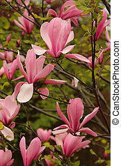 Pink Magnolia flowers in spring