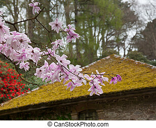 Pink magnolia stellata blossom by mossy roof