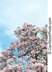 Pink magnolia tree branch flowers