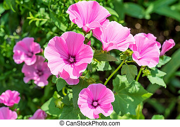 Pink mallow flowers in the home garden