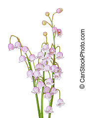 Pink May Lily - Pink may lily of the valley flowers isolated...