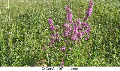 Pink meadow flower. Lythrum salicaria, spiked loosestrife,...