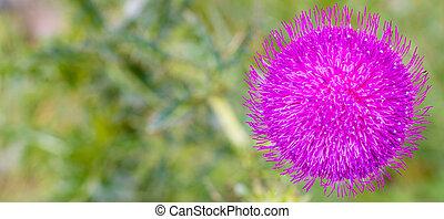 Pink milk thistle flowerhead