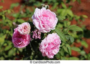 Pink Miranda Rose on the branch of tree. - Miranda Rose in ...