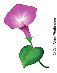 Pink morning glory flower illustration