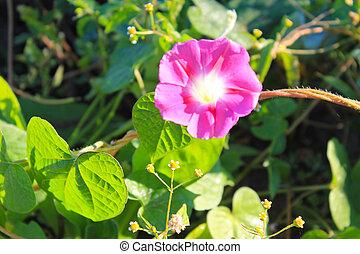 Pink morning glory in garden