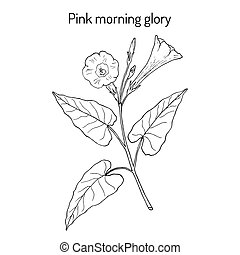 Pink morning glory Ipomoea carnea , medicinal plant. Hand...