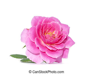 Pink of Rose flower on white background.
