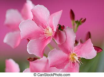 Pink Oleander Flower Background
