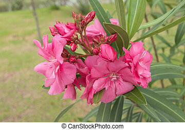 Pink oleander flowers in green garden