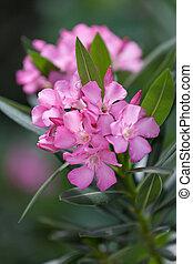 Pink oleander in blossom