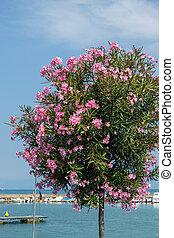 Pink Oleander shrub flowering on the shore of Lake Garda in Peschiera del Garda