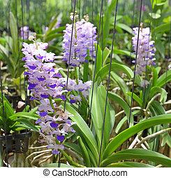 pink or purple Rhynchostylis Gigantea(orchids in thailand)