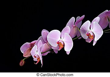 Pink Orchid [2]