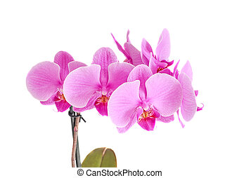 Pink orchid branch flower, phalaenopsis isolated on white background.