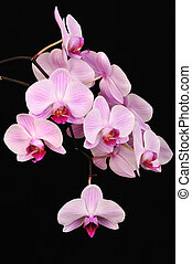 Pink orchid, closeup shot, black background