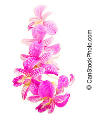 Pink orchid flower isolated