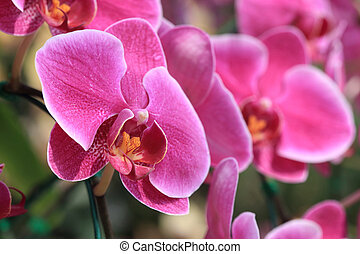 pink orchid flowers in garden
