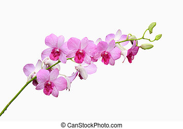pink orchid group and bud branch