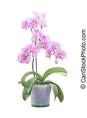 Pink orchid in flowerpot - Pink orchid phalaenopsis flower ...
