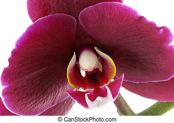 Pink orchid - Macro of a beautiful purple orchid...