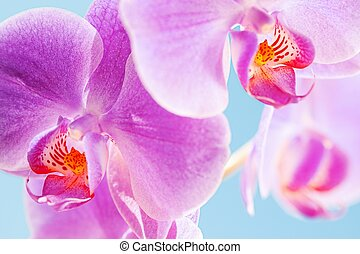 Pink Orchid - macro