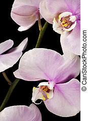 pink orchid on black background