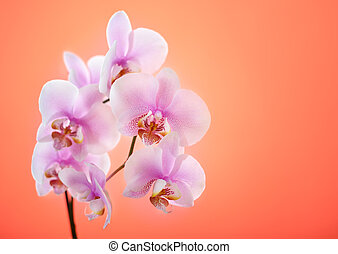 Pink orchid on red background