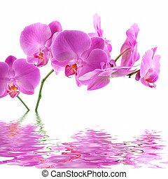 Pink Orchid on white background with reflection