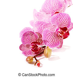Pink orchid Phalaenopsis. Beautiful branch of pink flowers. ...