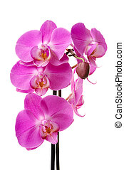 Pink orchid (Phalaenopsis) flowers, isolated, white ...